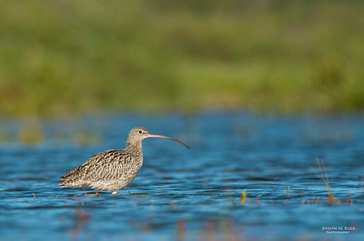 Eastern Curlew, Shoalhaven Heads, NSW, Aus, Apr 2013