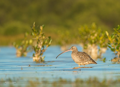 Eastern Curlew, Shoalhaven Heads, NSW, Aus, Apr 2013-1