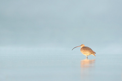Eastern Curlew, Shoalhaven Heads, NSW, Aus, March 2013-1