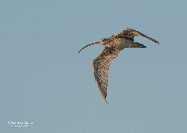 Eastern Curlew, Shoalhaven Heads, NSW, Aus, Nov 2012