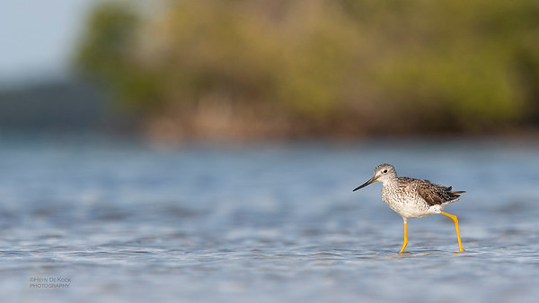 Greater Yellowlegs, Fort De Soto, St Petersburg, FL, USA, May 2018-9
