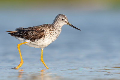 Greater Yellowlegs, Fort De Soto, St Petersburg, FL, USA, May 2018-5