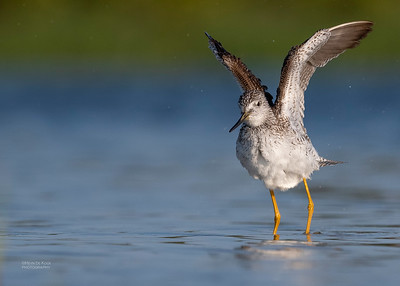 Greater Yellowlegs, Fort De Soto, St Petersburg, FL, USA, May 2018-4