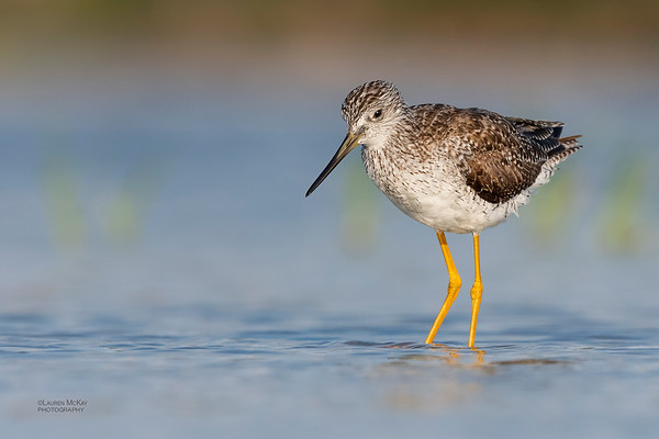 Greater Yellowlegs, Fort De Soto, St Petersburg, FL, USA, May 2018-2