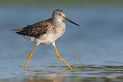 Greater Yellowlegs, Fort De Soto, St Petersburg, FL, USA, May 2018-1