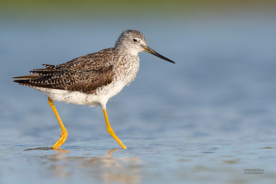 Greater Yellowlegs, Fort De Soto, St Petersburg, FL, USA, May 2018-6