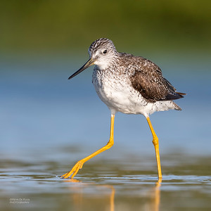 Greater Yellowlegs, Fort De Soto, St Petersburg, FL, USA, May 2018-7