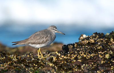 Grey-tailed Tattler, Windang, NSW, Aus, Oct 2013-2