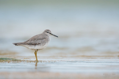 Grey-tailed Tattler, Lake Wollumboola, NSW, Feb 2015-3