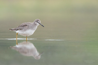 Grey-tailed Tattler, Lake Wollumboola, NSW, Feb 2015-2 copy