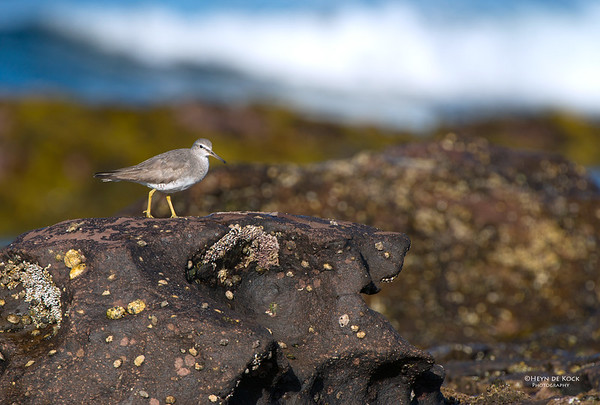 Grey-tailed Tattler, Windang, NSW, Oct 2013-2