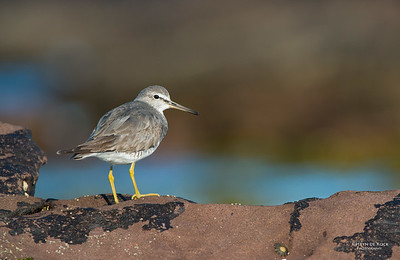 Grey-tailed Tattler, Windang, NSW, Aus, Oct 2013-1