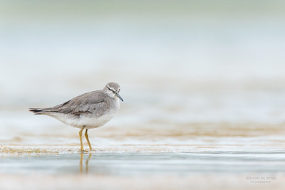 Grey-tailed Tattler, Lake Wollumboola, NSW, Feb 2015