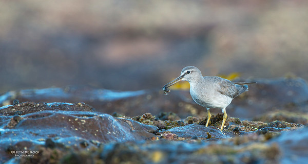 Grey-tailed Tattler, Windang, NSW, Oct 2013-1