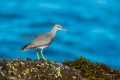 Grey-tailed Tattler, Windang, NSW, Oct 2013-3