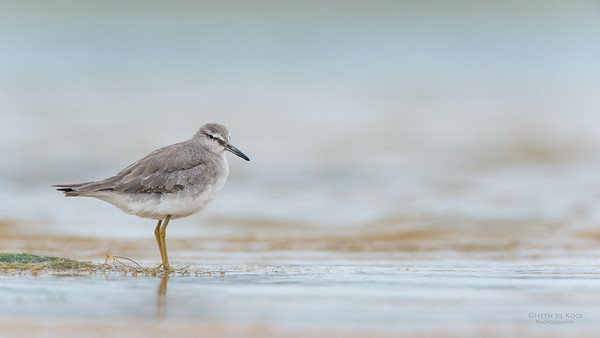 Grey-tailed Tattler, Lake Wollumboola, NSW, Feb 2015-1 copy
