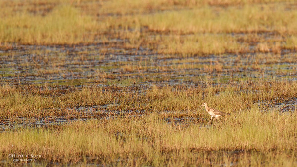 Little Curlew, Darwin, NT, Sept 2010