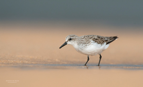Red-necked Stint, Lake Woolumbulla, NSW, Aus, Jan 2013