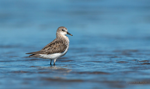 Red-necked Stint, Shoalhaven Heads, NSW, Oct 2012-1