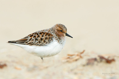 Red-necked Stint, Shoalhaven Heads, NSW, April 2015