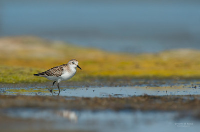 Red-necked Stint, Lake Wolumboola, NSW, Aus, Nov 2013-1