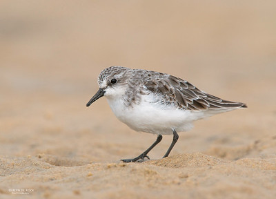 Red-necked Stint, Lake Conjola, NSW, Aus, Aug 2013