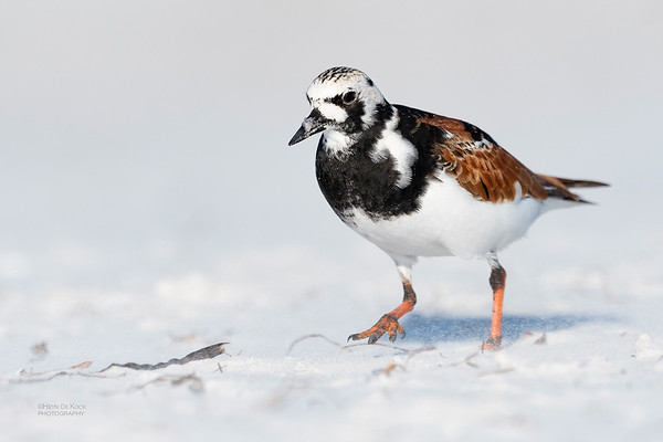 Ruddy Turnstone, Fort De Soto, St Petersburg, FL, USA, May 2018-1