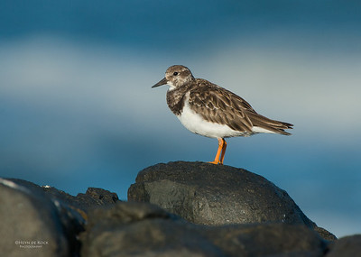Ruddy Turnstone, West Coast NP, WC, SA, Jan 2014-2