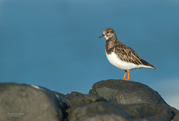 Ruddy Turnstone, West Coast NP, WC, SA, Jan 2014
