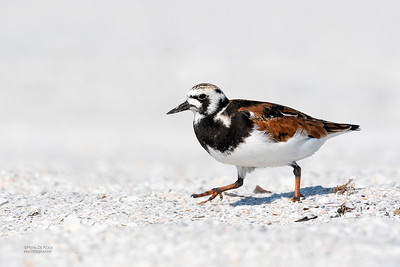 Ruddy Turnstone, Fort De Soto, St Petersburg, FL, USA, May 2018-5