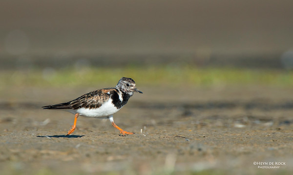 Ruddy Turnstone, Shoalhaven Heads, NSW, Oct 2012-1 copy