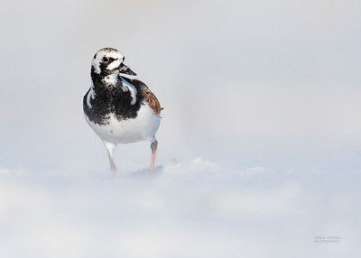 Ruddy Turnstone, Fort De Soto, St Petersburg, FL, USA, May 2018-3