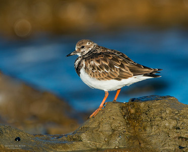 Ruddy Turnstone, Bellambi Point NSW, Aus, Dec 2012