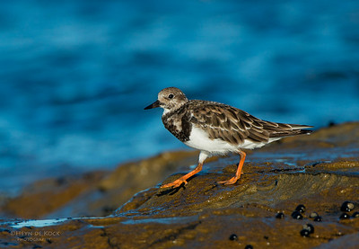 Ruddy Turnstone, Bellambi Point NSW, Aus, Dec 2012-1