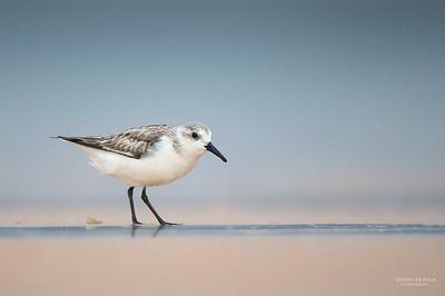 Sanderling, Lake Woolumbulla, NSW, Aus, Jan 2013-1