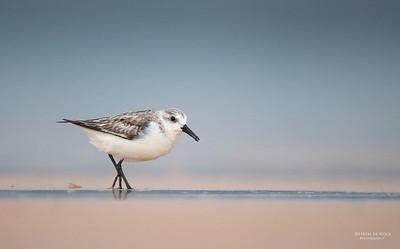 Sanderling, Lake Woolumbulla, NSW, Aus, Jan 2013