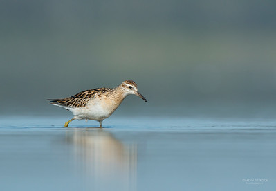 Sharp-tailed Sandpiper, Lake Wolumboola, NSW, Aus, Nov 2013-7