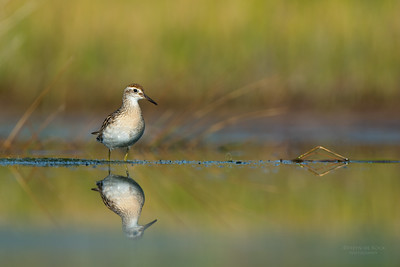 Sharp-tailed Sandpiper, Lake Wollumboola, NSW, Nov 2014-1