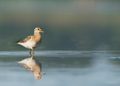 Sharp-tailed Sandpiper, Pitt Town Lagoon, NSW, Aus, Oct 2013-7