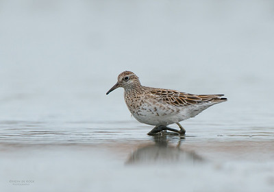 Sharp-tailed Sandpiper, Western Treatment Plant, VIC, Apr 2014-1