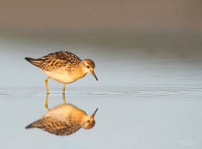 Sharp-tailed Sandpiper, Lake Wolumboola, NSW, Aus, Nov 2013-2
