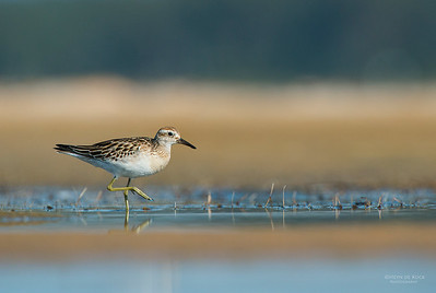 Sharp-tailed Sandpiper, Lake Wolumboola, NSW, Aus, Nov 2013-5