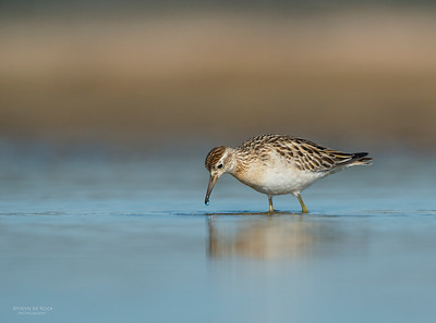 Sharp-tailed Sandpiper, Lake Wolumboola, NSW, Aus, Nov 2013