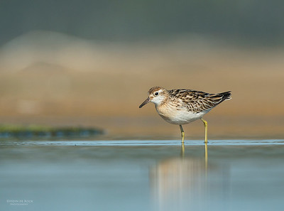 Sharp-tailed Sandpiper, Lake Wolumboola, NSW, Aus, Nov 2013-4