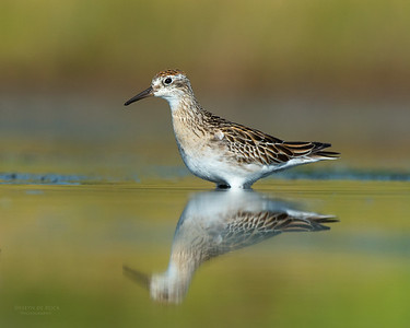 Sharp-tailed Sandpiper, Lake Wollumboola, NSW, Nov 2014-4