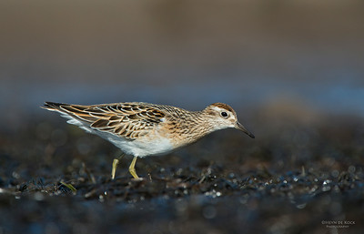 Sharp-tailed Sandpiper, Shoalhaven Heads, Oct 2012-1