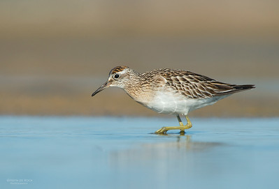 Sharp-tailed Sandpiper, Lake Wolumboola, NSW, Aus, Nov 2013-6