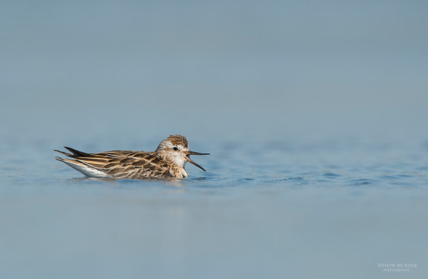 Sharp-tailed Sandpiper, Lake Wolumboola, NSW, Aus, Nov 2013-3