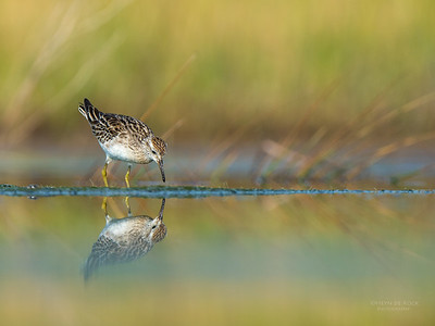 Sharp-tailed Sandpiper, Lake Wollumboola, NSW, Nov 2014-2