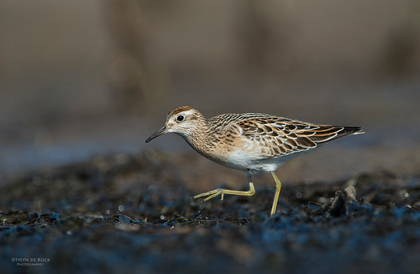 Sharp-tailed Sandpiper, Shoalhaven Heads, Oct 2012-2